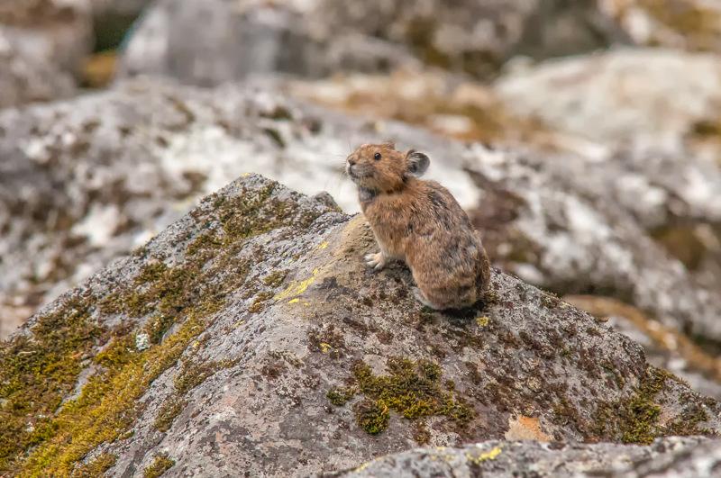 Interesting Nature Facts #80 – Pika
