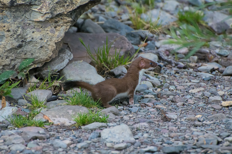 Interesting Nature Facts #82 – Short-Tailed Weasel