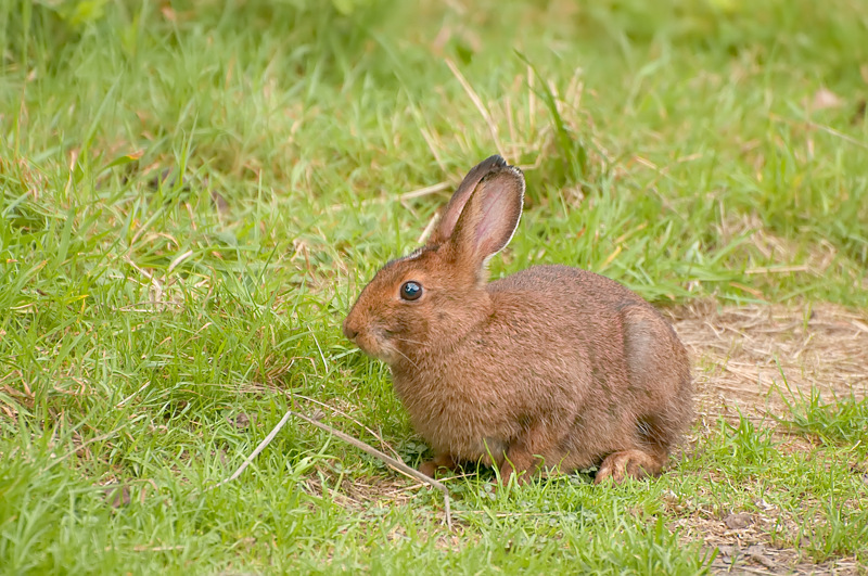 Interesting Nature Facts #81 – Snowshoe Hare
