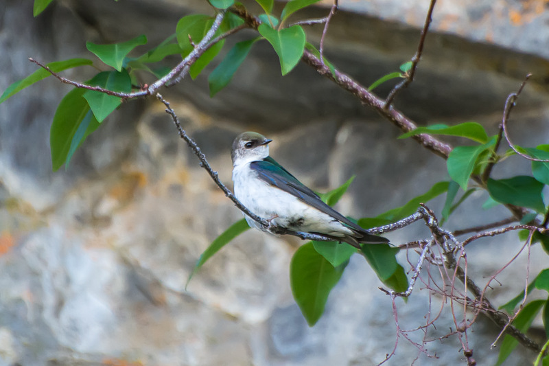 Interesting Nature Facts #65 – Violet-Green Swallow