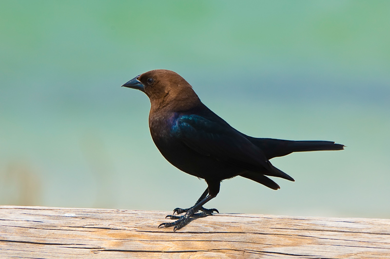 Interesting Nature Facts #74 – Brown-Headed Cowbird