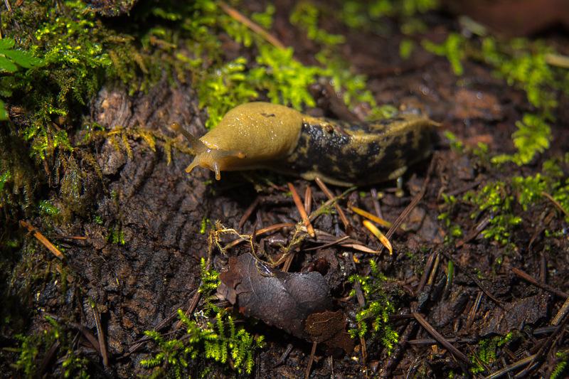 Interesting Nature Facts #71 – Pacific Banana Slug