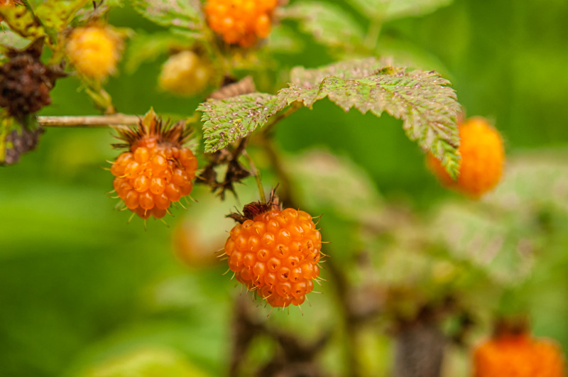 Interesting Nature Facts #72 – Salmonberry