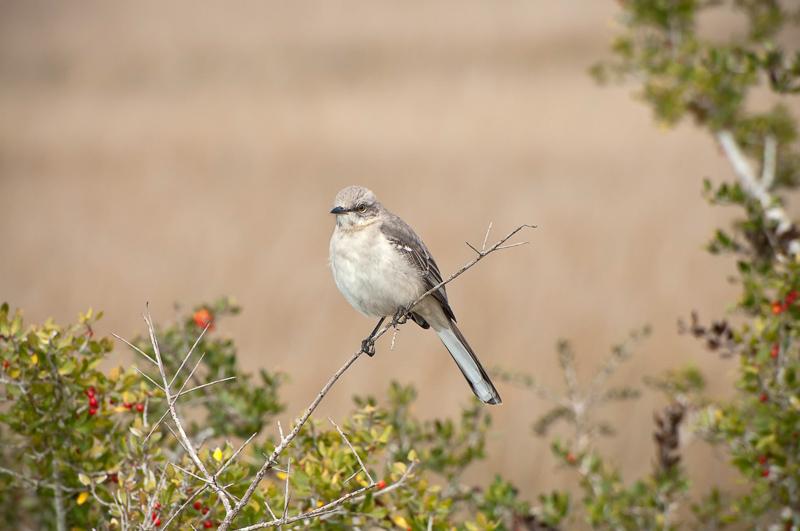 Interesting Nature Facts #77 – Northern Mockingbird