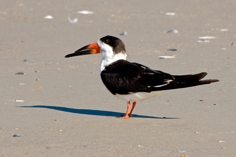 Interesting Nature Facts #86 – Black Skimmers