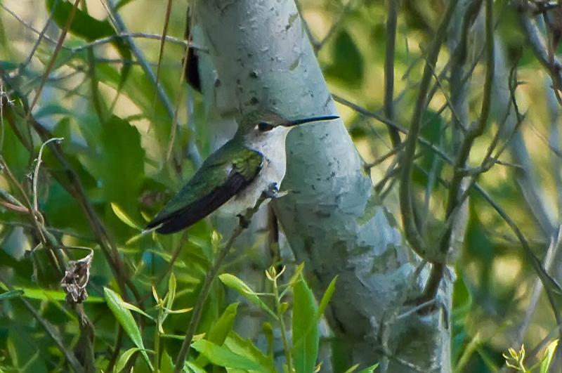 Interesting Nature Facts #88 – Hummingbirds