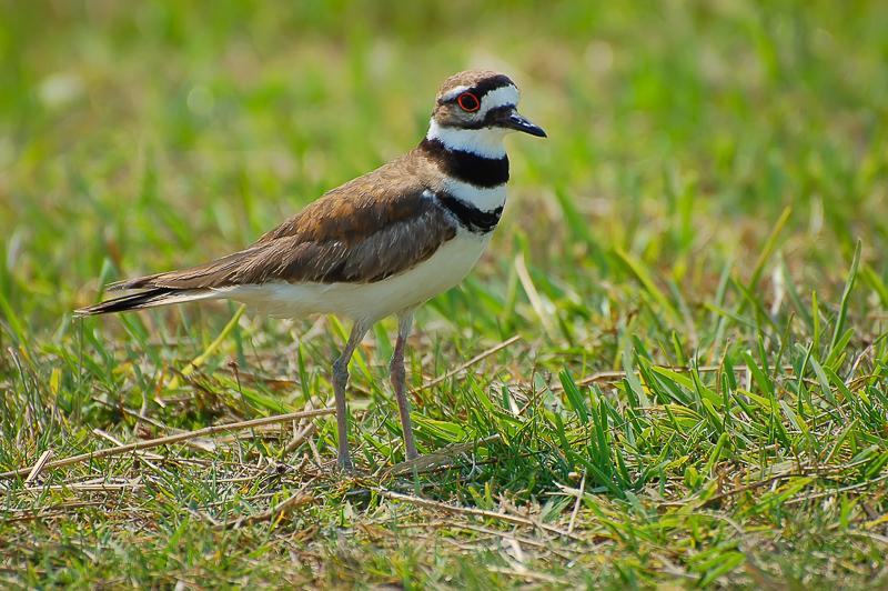 Interesting Nature Facts #87 – Killdeer
