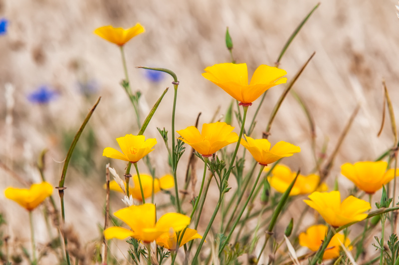 Interesting Nature Facts #91 – California Poppy