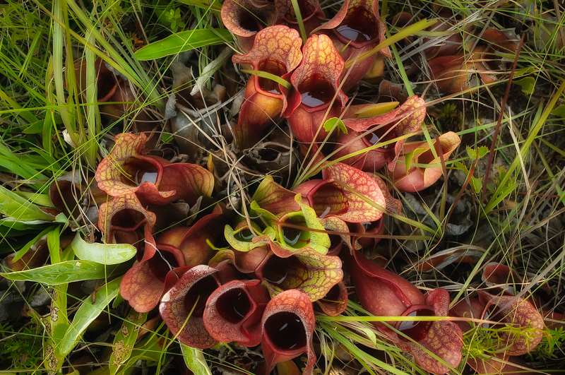 Interesting Nature Facts #98 – Carnivorous Plants