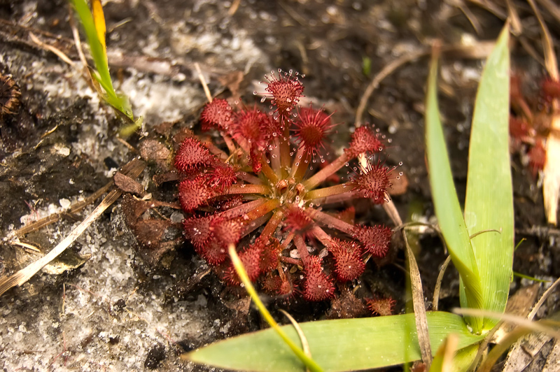 Interesting Nature Facts #96 – Sundews