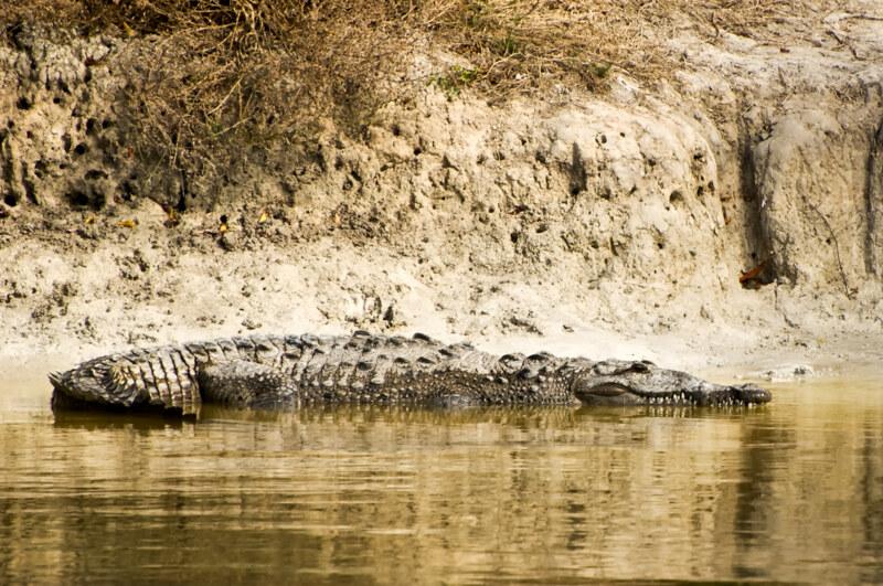 Interesting Nature Facts #100 – American Crocodile