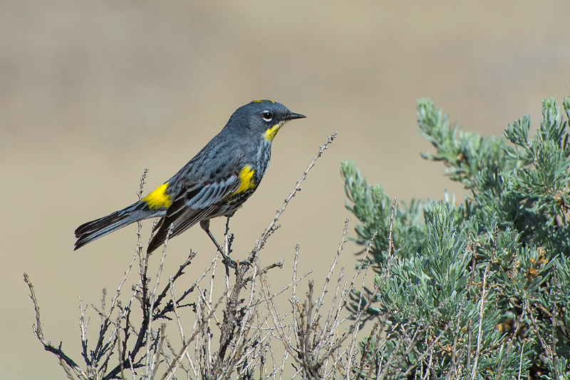 Interesting Nature Facts #102 – Warblers
