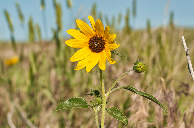 Interesting Nature Facts #101 – Sunflowers