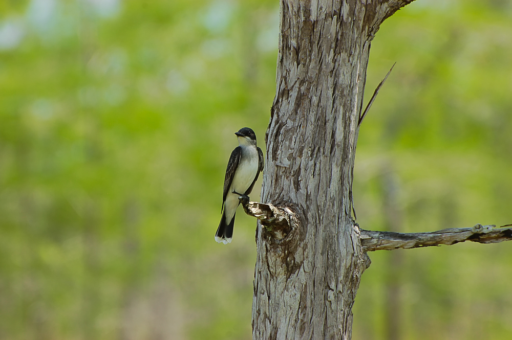 Interesting Nature Facts #144 – Eastern Kingbird