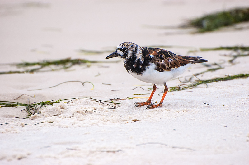 Interesting Nature Facts #118 – Ruddy Turnstone