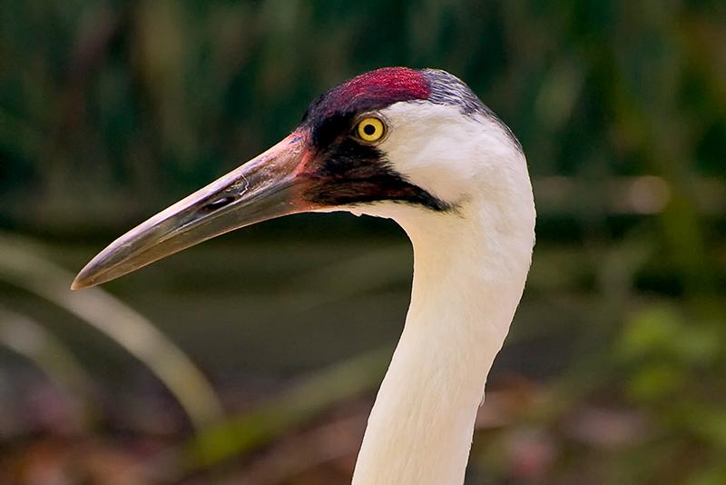Interesting Nature Facts #125 – Whooping Crane