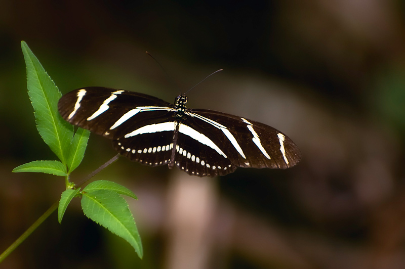 Interesting Nature Facts #127 – Zebra Longwing