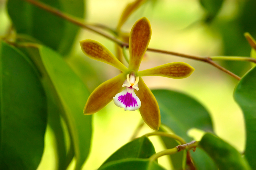 Native Orchids