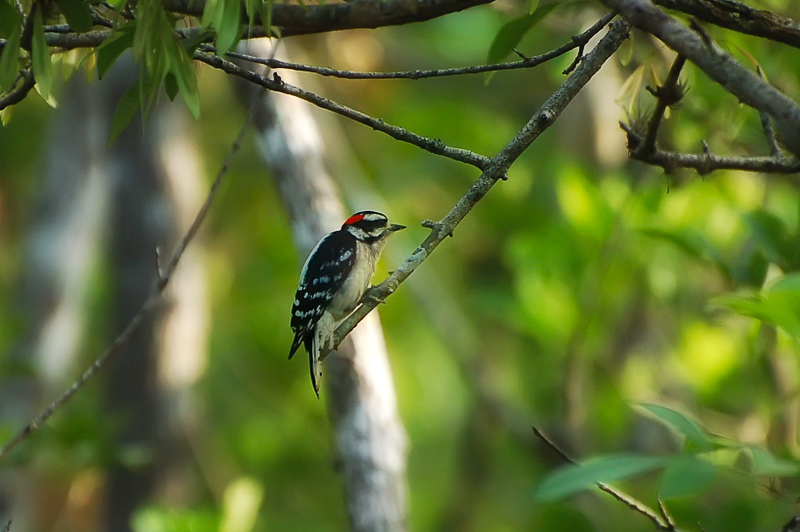 Interesting Nature Facts #141 – Downy Woodpecker