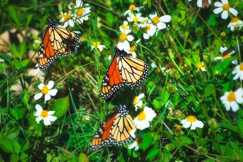 Interesting Nature Facts #142 – Monarch Butterflies