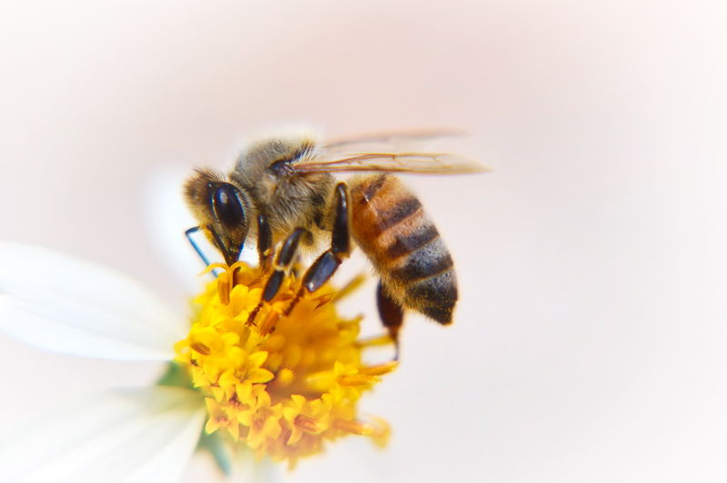 Interesting Nature Facts #39 – Honey Bees