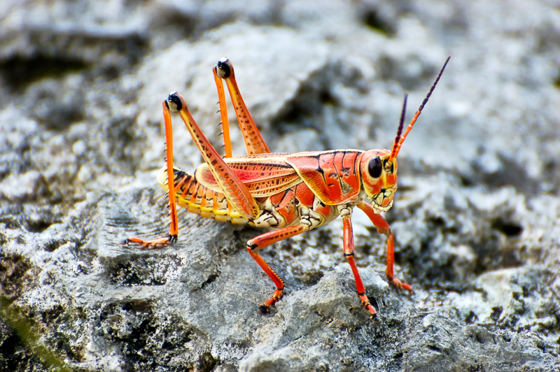 Interesting Nature Facts #135 – Eastern Lubber Grasshopper