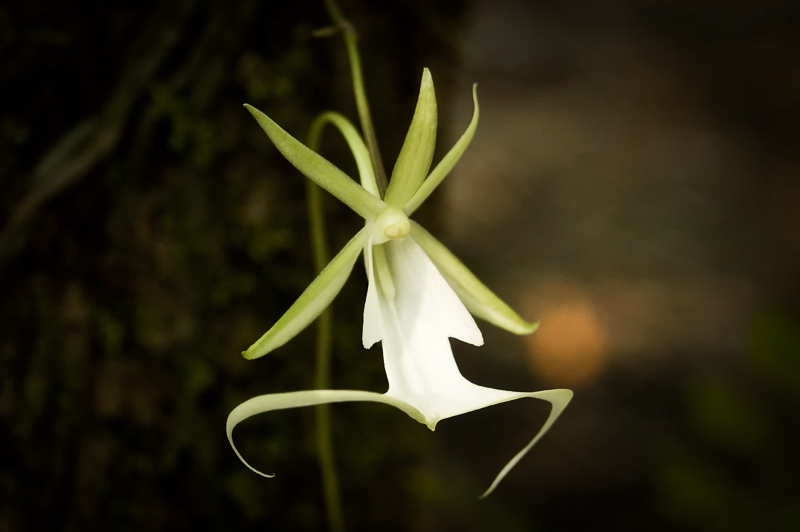 Interesting Nature Facts #3 – The Ghost Orchid
