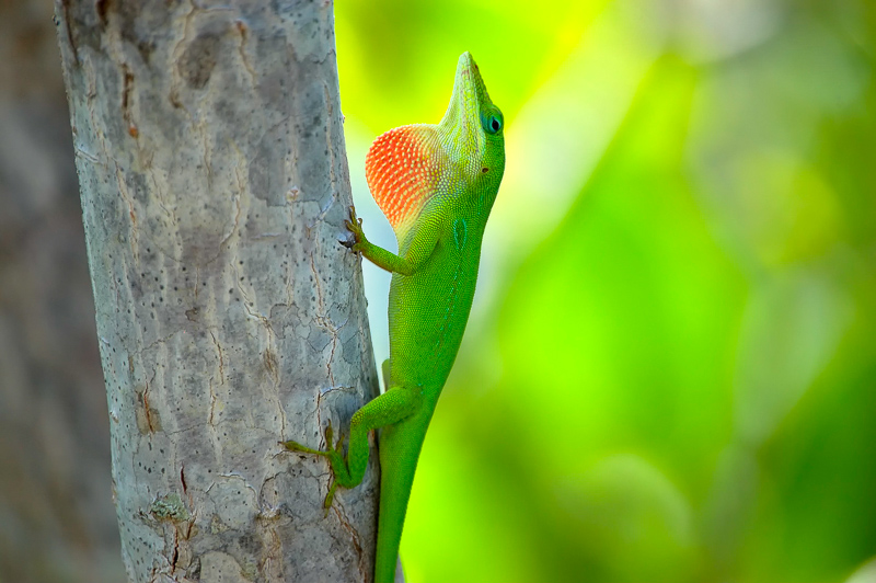 Interesting Nature Facts #8 – Green Anole