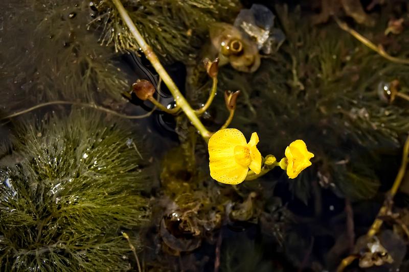 Interesting Nature Facts #95 – Bladderworts