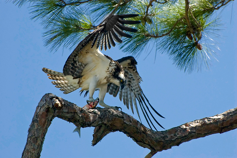 Interesting Nature Facts #1 – Osprey