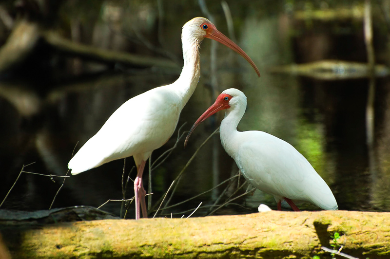 Interesting Nature Facts #130 – American White Ibis