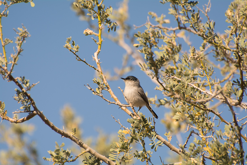 Interesting Nature Facts #150 – Black-Tailed Gnatcatcher
