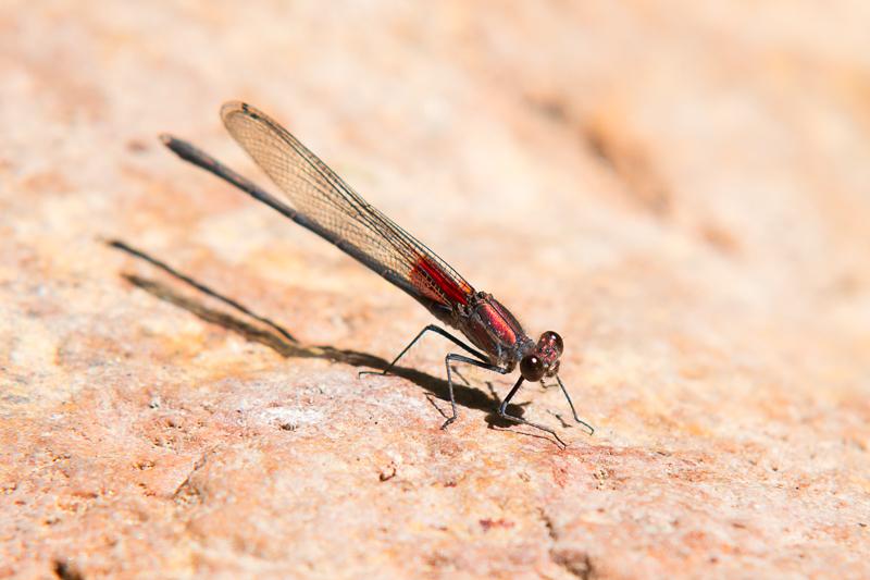 Interesting Nature Facts #147 – Damselflies