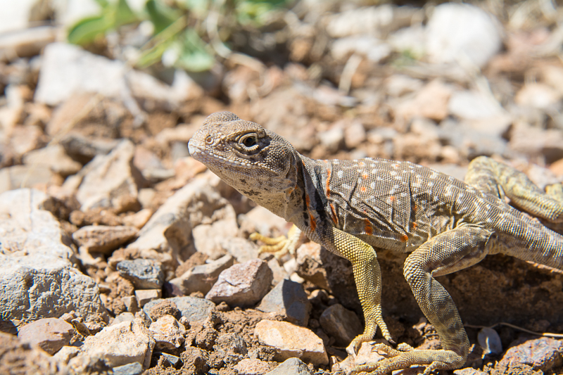 Interesting Nature Facts #149 – Collared Lizard