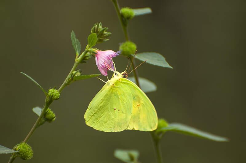Interesting Nature Facts #153 – Pierid Butterflies