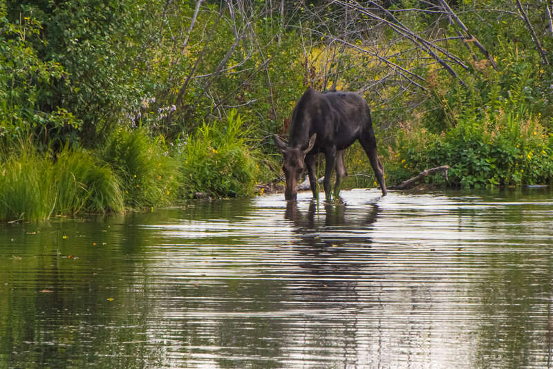 Interesting Nature Facts #160 – Moose