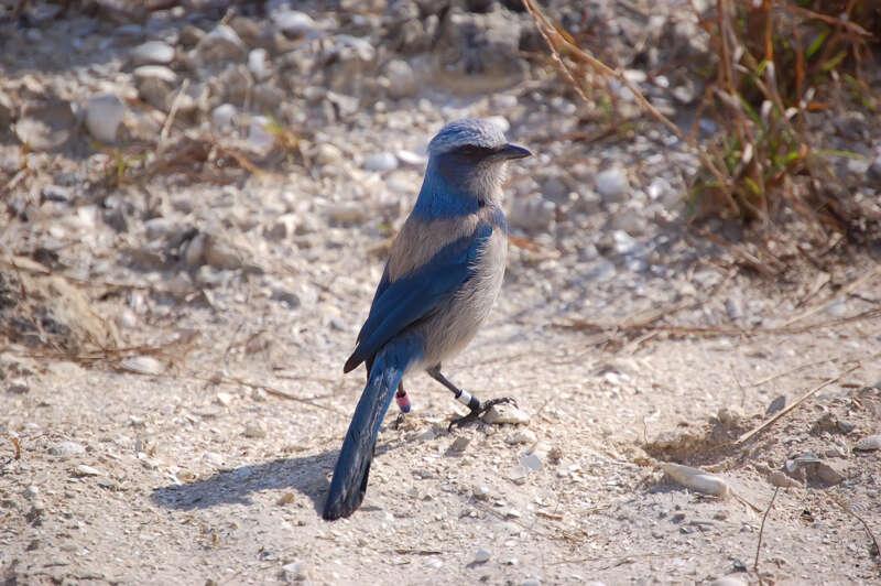 Interesting Nature Facts #161 – Florida Scrub Jay