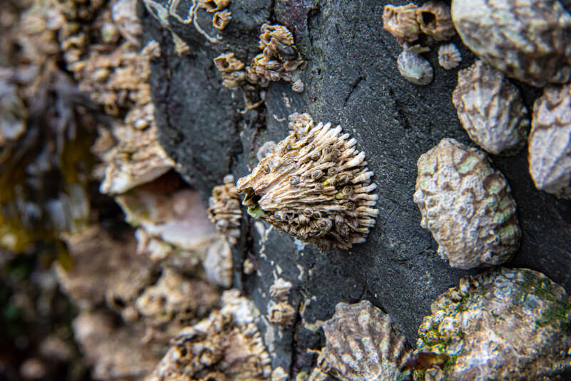 Interesting Nature Facts #157 – Barnacles