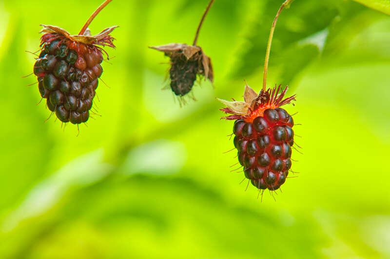 Interesting Nature Facts #155 – Blackberries