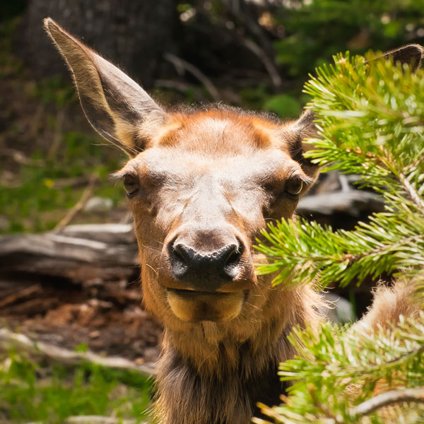 Eye to Eye with a Wild Elk Calf